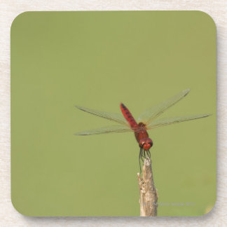 A Dragonfly rests momentarily on a dried weed Beverage Coaster