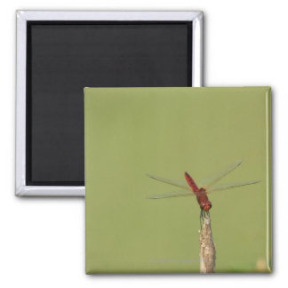A Dragonfly rests momentarily on a dried weed Magnet