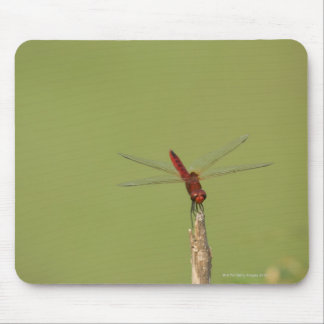 A Dragonfly rests momentarily on a dried weed Mouse Pad