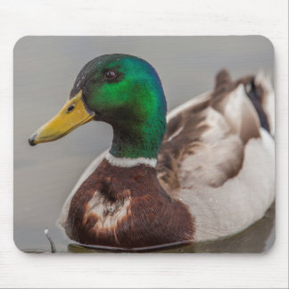 A Drake Mallard afloat in the waters of Lake Mouse Pad