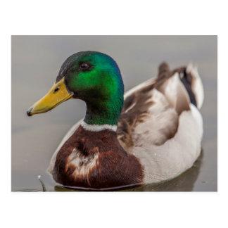 A Drake Mallard afloat in the waters of Lake Postcard