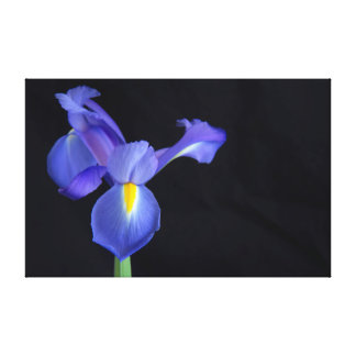 A Dramatic Moment With A Purple Iris Canvas Print