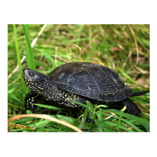 A European Pond Turtle Postcard