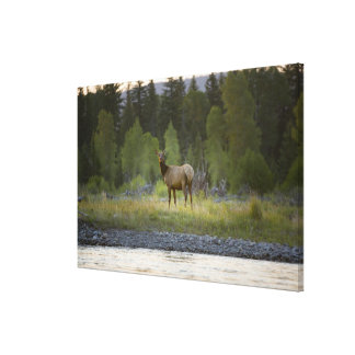 A female elk stands looking at the camera with a canvas print