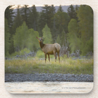 A female elk stands looking at the camera with a coaster