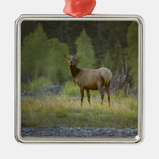 A female elk stands looking at the camera with a ornament