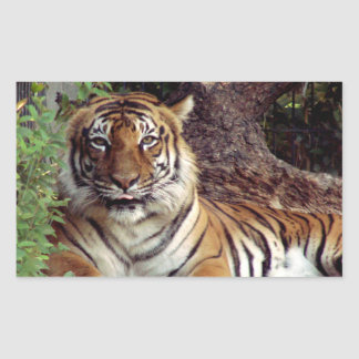 A female Indochinese Tiger looking like she is goi Stickers