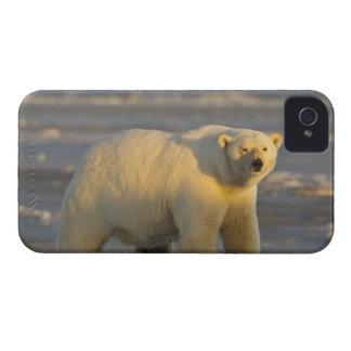 A female polar bear stands on snow covered beach blackberry cases
