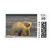 A female polar bear stands on snow covered beach postage