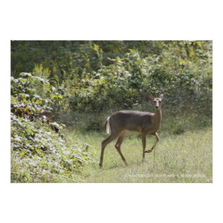 A female White-tailed Deer in forest clearing Poster