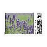A Field of Lavender Postage Stamp