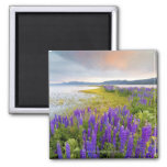 A field of Lupine wildflowers on the North Shore 2 Inch Square Magnet