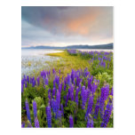 A field of Lupine wildflowers on the North Shore Post Card