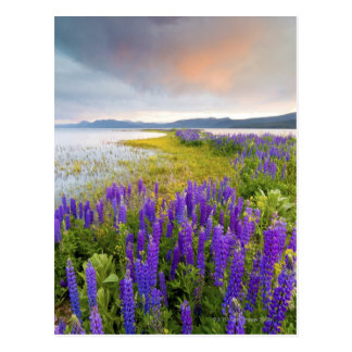 A field of Lupine wildflowers on the North Shore Postcard