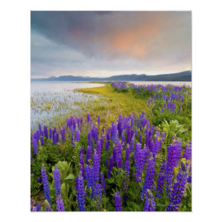A field of Lupine wildflowers on the North Shore Poster