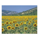 a field of sunflowers print