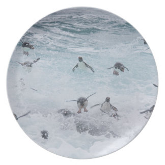 A flock of Rockhopper penguins launch out of the Dinner Plate