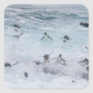 A flock of Rockhopper penguins launch out of the Square Sticker