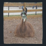 """A Fluffy Brown Llama laying down in zoo pen Bandana<br><div class=""""desc"""">A brown and white llama lays in the middle of a fenced pen at a petting zoo. The llama wears a green halter.</div>"""