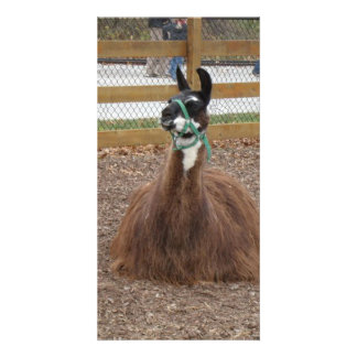 A Fluffy Brown Llama laying down in zoo pen Card