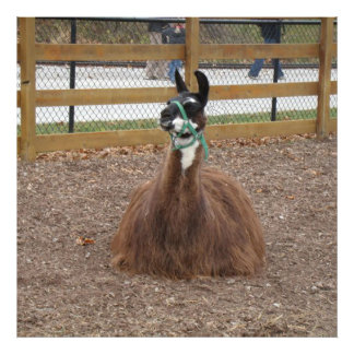 A Fluffy Brown Llama laying down in zoo pen Photo Print