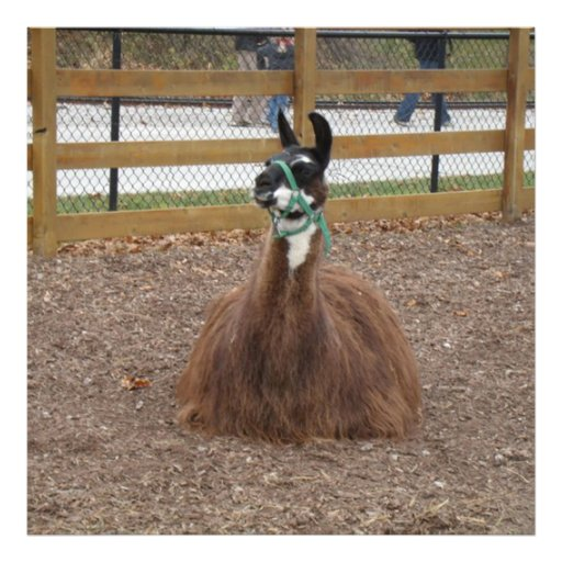 A Fluffy Brown Llama laying down in zoo pen Art Photo