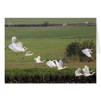 A flying group of Great Egrets Card