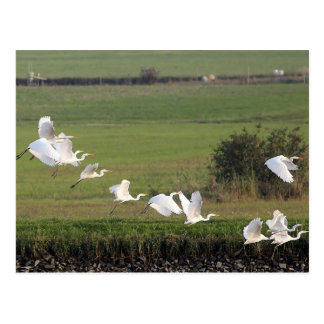 A flying group of Great Egrets Postcard