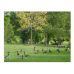 A Gaggle of Geese Postcards