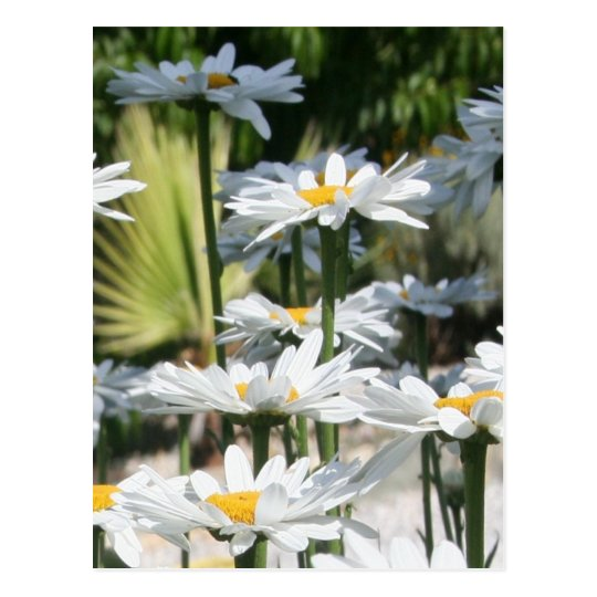 A Garden of White Daisy Flowers Postcard