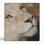 A gentle lion 3 ring binders