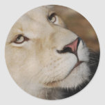 A gentle lion classic round sticker