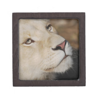 A gentle lion gift box