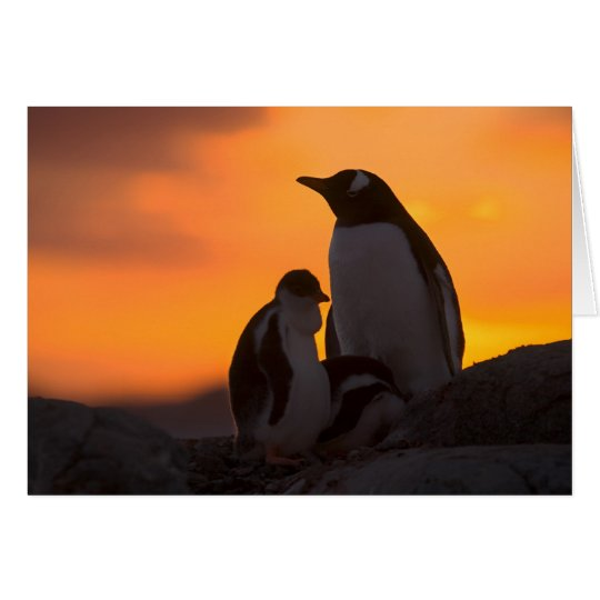 A gentoo penguin adult and chick are silhouetted card