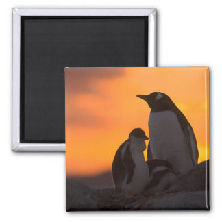 A gentoo penguin adult and chick are silhouetted magnet