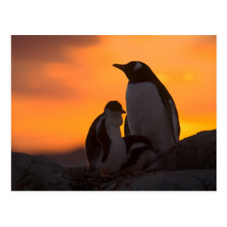 A gentoo penguin adult and chick are silhouetted postcard