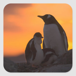 A gentoo penguin adult and chick are silhouetted square sticker