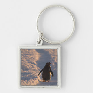 A gentoo penguin pauses for a rest during a keychain