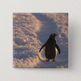 A gentoo penguin pauses for a rest during a pinback button