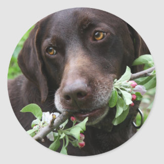 A German Shorthaired Pointer dog with flowers Classic Round Sticker