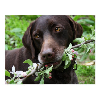 A German Shorthaired Pointer dog with flowers Postcard