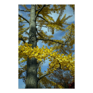 A ginkgo tree in Tendo Poster