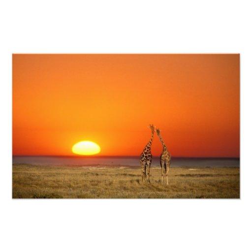 A Giraffe couple walks into the sunset, in Photo Print
