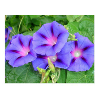 A Glorious Collection of Purple Ipomoea Postcard
