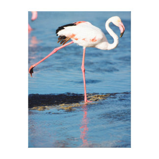 A Greater Flamingo balancing on a rock Canvas Print