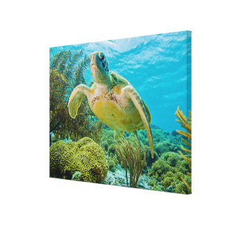 A Green Turtle On The Shallow Reefs Of Bonaire Canvas Print