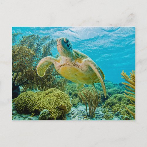 A Green Turtle On The Shallow Reefs Of Bonaire Postcard