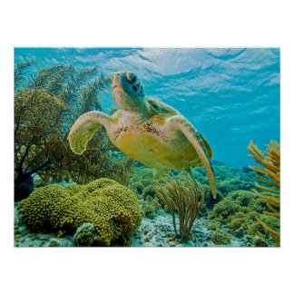 A Green Turtle On The Shallow Reefs Of Bonaire Poster