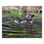 A Grizzly Bear playing in the water Print