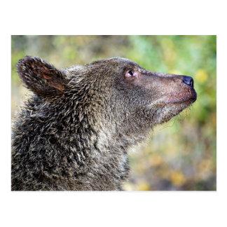 A Grizzly Profile Postcard